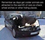 cow_car.jpg
